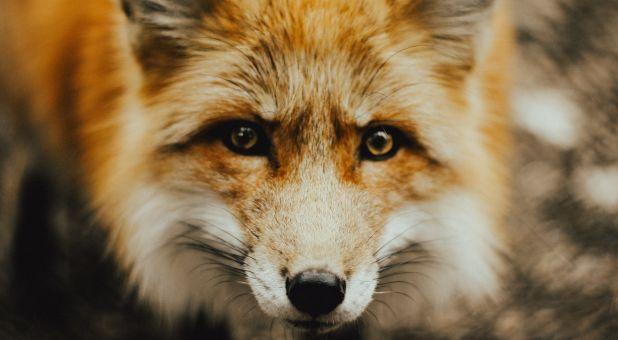 Foxes Among Us