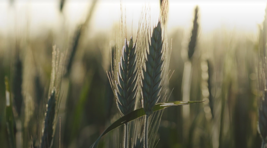 Prophetic Wheat and Tares