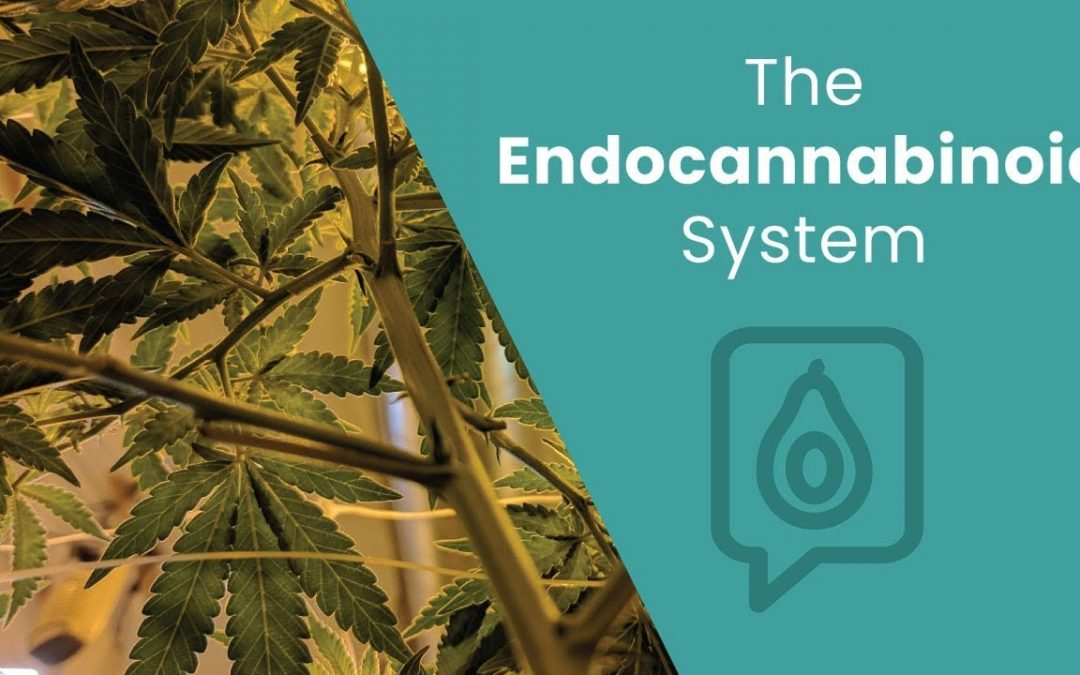 What's the Endocannabinoid System? | Dr. Josh Axe