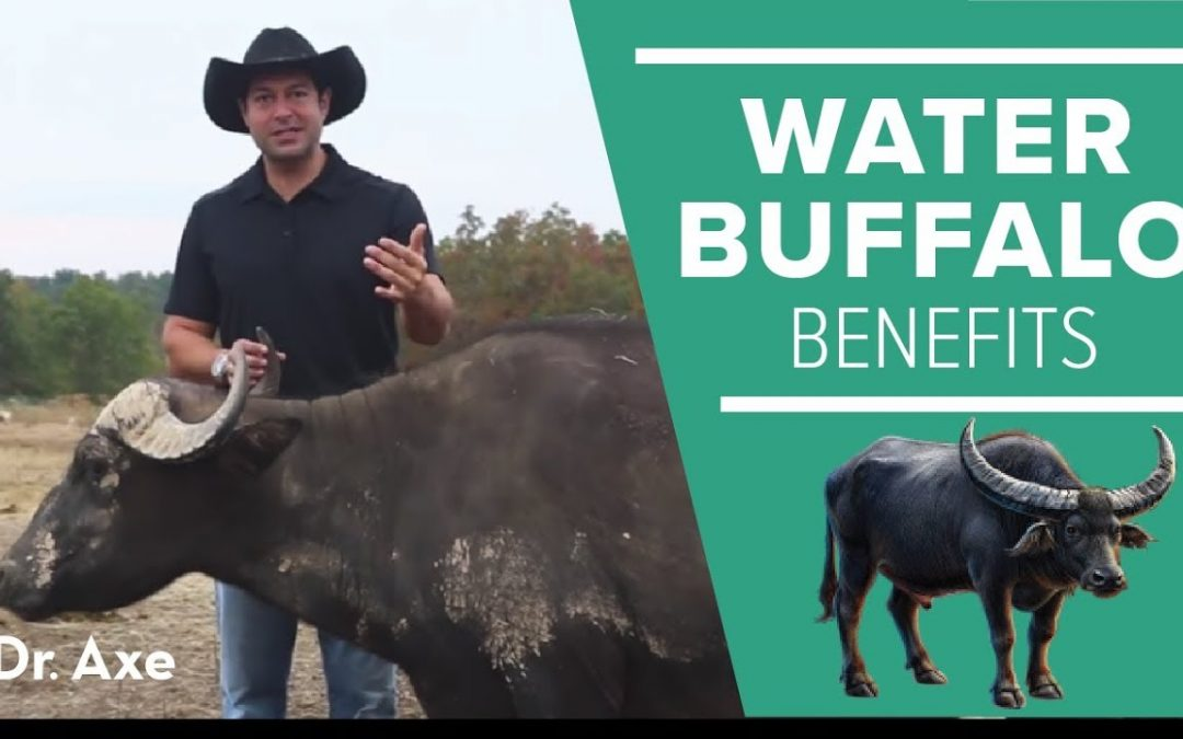 Water Buffalo: The Amazing Animal and Its Milk Cheese Benefits